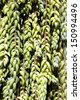 A closeup of a succulent green plant called donkeys tail - stock photo