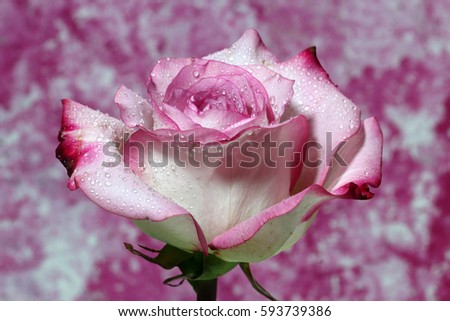 A closeup of a wet Pink Rose on a pink background