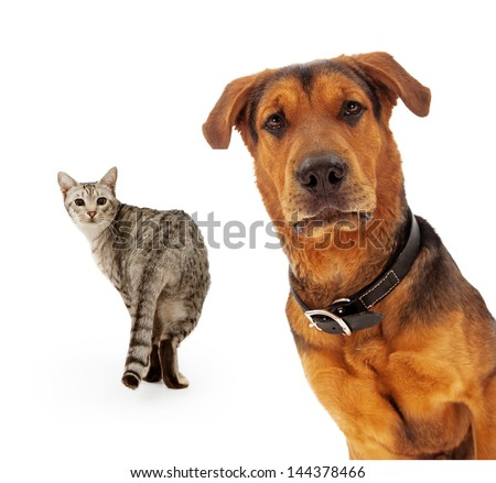 A closeup of an adult large breed dog that is coming out from the corner of the image with a cat walking in the background and looking at him - stock photo