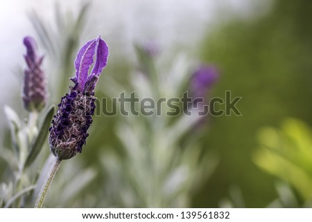 A closeup of an in focus lavender flower with green and purple bokeh of a lavender garden in the background - stock photo