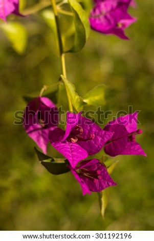 A closeup of Bougainvillea flowers - stock photo