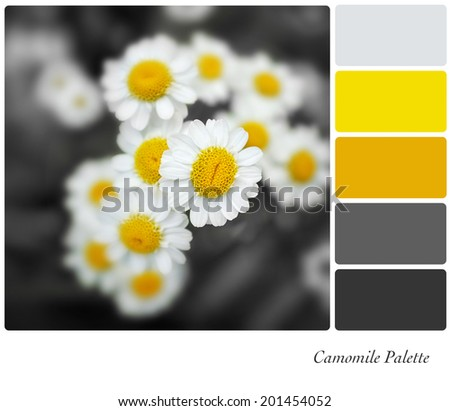 A closeup of camomile flowers with selective colouring, in a colour palette with complimentary colour swatches - stock photo