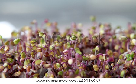 A closeup of healthy pink kale microgreens - stock photo