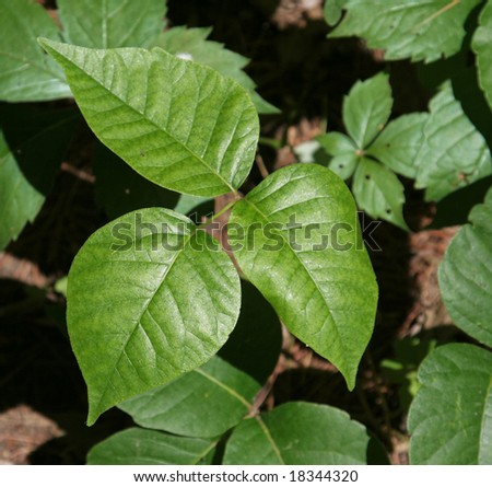 A closeup of profile shot of a poison ivy plant. - stock photo