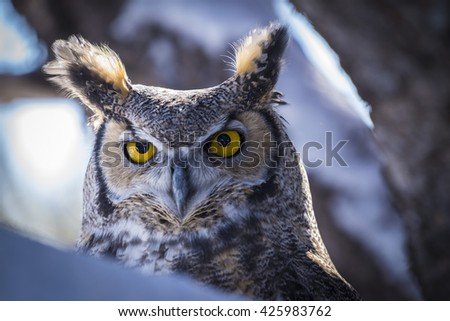 A closeup of the face of a Great Horned Owl perched in a tree in the winter. - stock photo