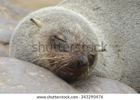 A closeup of the face of a south African fur seal basking on the rocky shoreline - stock photo