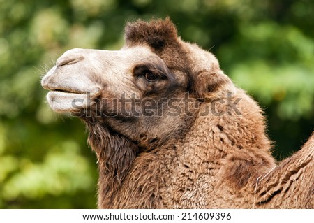 A closeup of the head of a bactrian camel