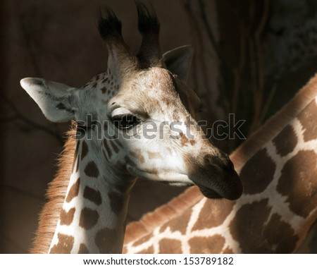 A closeup of the head of a young giraffe - stock photo