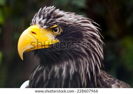 A closeup of the head of an eagle (Steller's sea eagle) - stock photo