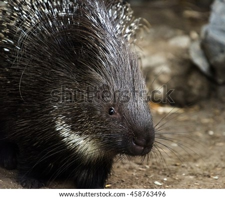 A closeup of the head of an young porcupine