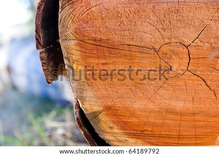 A closeup of the rings of a cut down eucalyptus tree.