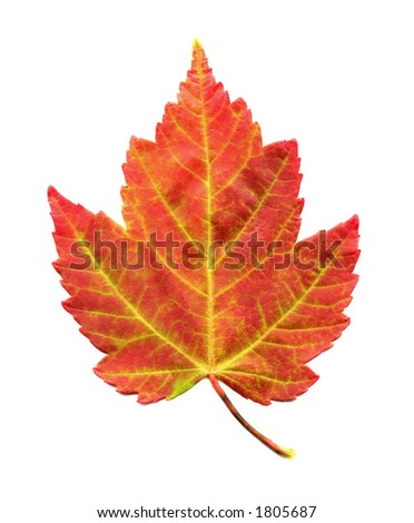 A closeup photo of a Red Maple Leaf as it is changing colors during the Autumn season - stock photo