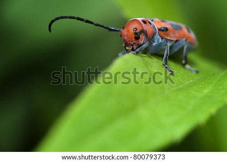A closeup photo of a red milkweed beetle - stock photo
