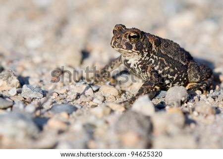 A closeup photo of an American Toad (Bufo americanus) - stock photo