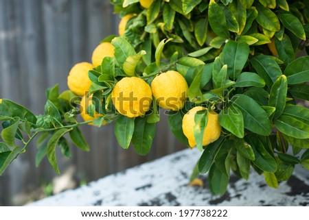 A closeup photo of lemons growing on a tree. - stock photo