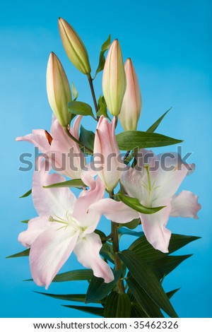 a closeup photo of the beautiful lily flowers on blue background