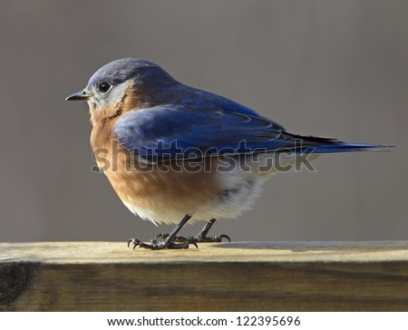 A closeup photograph of a  fluffy Eastern Bluebird perched on a deck rail.