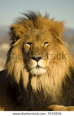 A closeup portrait of a beautiful African lion. - stock photo