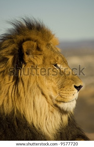A closeup portrait of a beautiful African lion.