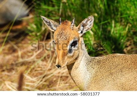 A closeup shot of a cavendish's dik dik - stock photo
