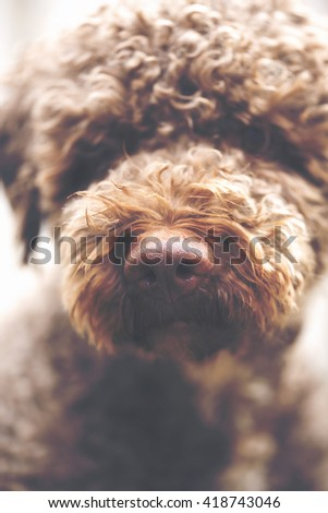 A closeup shot of a dog's nose. The breed is lagotto romagnolo also known as the truffle dog. The dog is looking forward. Focus point is on the nose tip. Image has a vintage effect applied. - stock photo