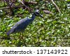 A Closeup Shot of a Wild Yellow-crowned Night Heron (Nyctanassa violacea) Hunting for a Meal in the Water Hyacinth at Brazos Bend Park, Texas. - stock photo