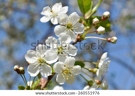 A closeup view of white spring cherry blossoms in full bloom on a tree branch.