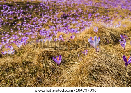 A closup of a crocuses on a meadow in Tatras National Park, Poland