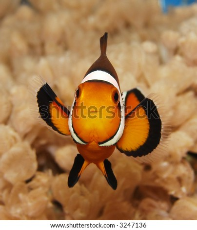 A clownfish (Amphiprion Ocellaris). - stock photo