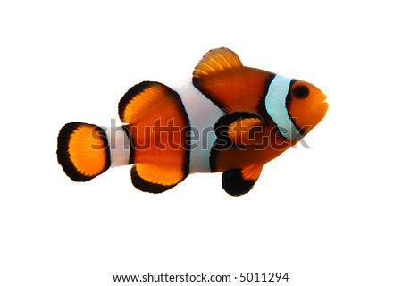 A clownfish (Amphiprion Ocellaris) on a white background. - stock photo