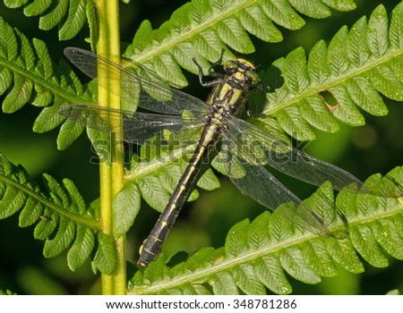 A clubtail dragonfly rests on a fern, gathering heat from the sunlight on the edge of a northern Wisconsin woodland.