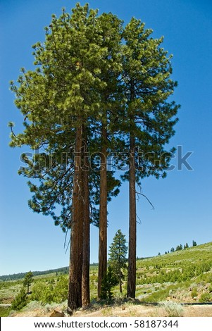 A clump of tall ponderosa pine trees in the mountains.