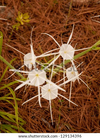 A cluster of five spider lilies - stock photo