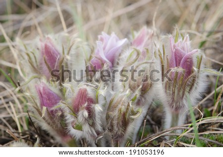 A cluster of prairie crocus in the spring - stock photo