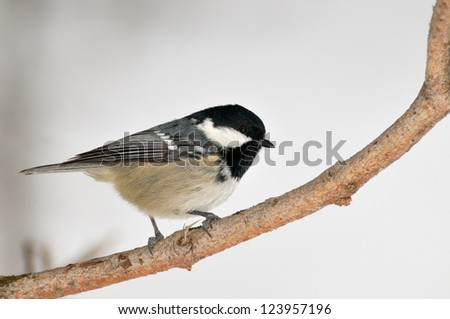 a coal tit (Periparus ater) bird against a snowy background - stock photo