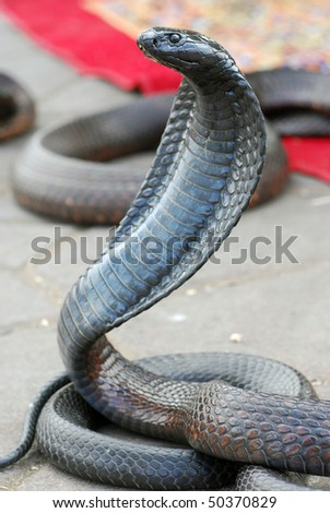 "A cobra being ""charmed"" in Marrakech, Morocco. - stock photo"