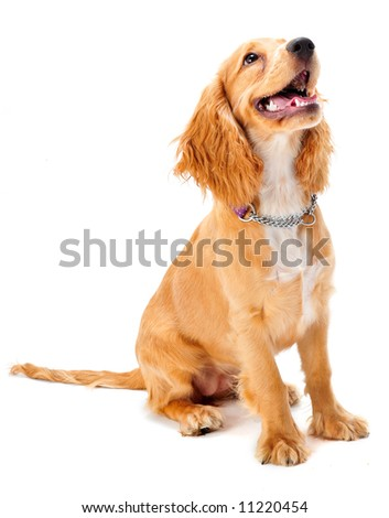 A cocker spaniel puppy in studio on white background - stock photo