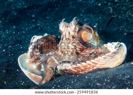 A Coconut Octopus hiding in sea shells