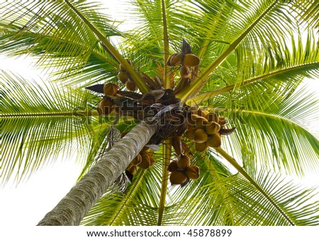 A coconut palm tree - stock photo