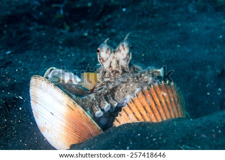 A Coconut (Veined) Octopus arranging shells for a shelter on a black volcanic sand seabed - stock photo