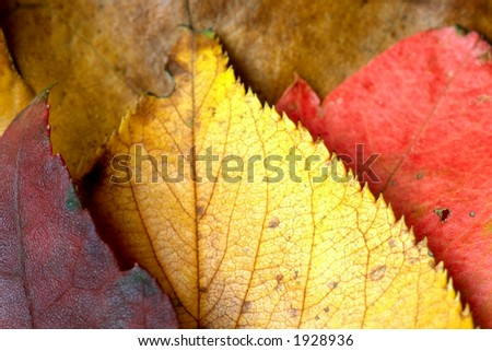 A collage autumn color leaves made of three leaves of different colors against a background of a old brown dead leaf.  Image shows the beauty of death and change in nature from the cycle of seasons. - stock photo