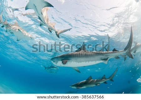 A collection of tiger and lemon sharks swimming side by side in shallow, clear water - stock photo