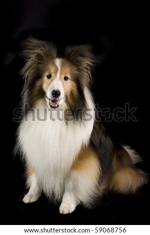 a collie dog on a black background - stock photo