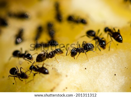 A colony of ants feeding on a sweet pear. - stock photo