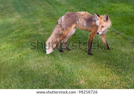 A Colorado Fox Standing in Lawn - stock photo