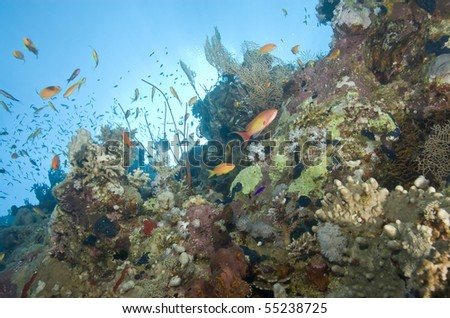 A colorful and vibrant tropical coral reef scene with Lyretail anthias (pseudanthias squamipinnis). Ras Katy, Sharm el Sheikh, Red Sea, Egypt.