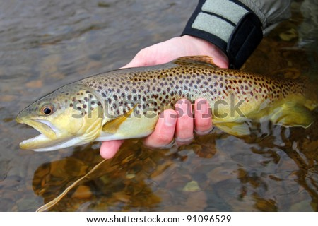 A colorful Brown Trout, being released into a river by a fly fisherman - stock photo