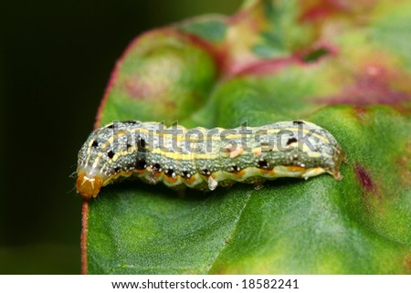 A colorful caterpillar crawling on green leaf.