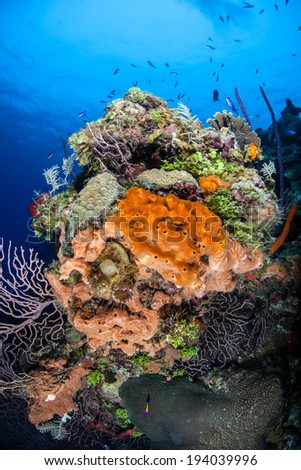 A colorful diversity of invertebrates decorate many Caribbean reefs and drop offs.  - stock photo