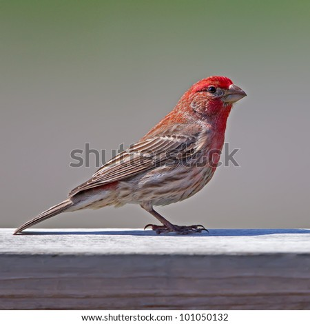 A colorful male House Finch perching on a deck rail.